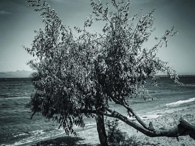 Auf Sand gebaumt. Baum am Meer bei Marathona. Foto: Jan Graber, 2018.